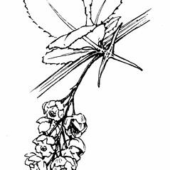 Flowers: Berberis vulgaris. ~ By Gordon Morrison. ~ Copyright © 2016 New England Wild Flower Society. ~ Image Request, images[at]newenglandwild.org