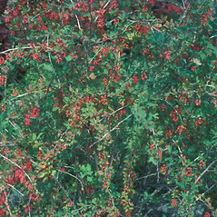 Plant form: Berberis vulgaris. ~ By Frank Bramley. ~ Copyright © 2016 New England Wild Flower Society. ~ Image Request, images[at]newenglandwild.org