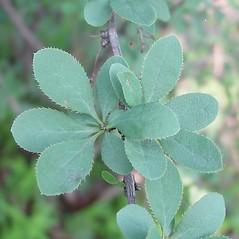Leaves: Berberis vulgaris. ~ By Arthur Haines. ~ Copyright © 2016. ~ arthurhaines[at]wildblue.net