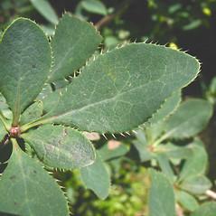 Leaves: Berberis vulgaris. ~ By Marilee Lovit. ~ Copyright © 2016 Marilee Lovit. ~ lovitm[at]gmail.com