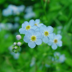 Flowers: Myosotis scorpioides. ~ By Glen Mittelhauser. ~ Copyright © 2015 Glen Mittelhauser. ~ www.mainenaturalhistory.org