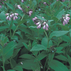 Plant form: Symphytum officinale. ~ By Frank Bramley. ~ Copyright © 2015 New England Wild Flower Society. ~ Image Request, images[at]newenglandwild.org