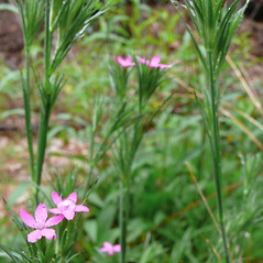 Plant form: Dianthus armeria. ~ By Dawn Dentzer. ~ Copyright © 2014. ~ dawndentzer[at]gmail.com