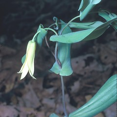Plant form: Uvularia perfoliata. ~ By Frank Bramley. ~ Copyright © 2015 New England Wild Flower Society. ~ Image Request, images[at]newenglandwild.org