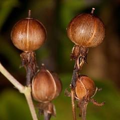 Fruits: Ipomoea coccinea. ~ By John Gwaltney. ~ Copyright © 2015 John Gwaltney. ~ southeasternflora.com ~ Southeastern Flora - www.southeasternflora.com/