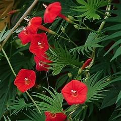 Flowers: Ipomoea quamoclit. ~ By Paul S. Drobot. ~ Copyright © 2015 Paul S. Drobot. ~ www.plantstogrow.com, www.plantstockphotos.com ~ Robert W. Freckmann Herbarium, U. of Wisconsin-Stevens Point