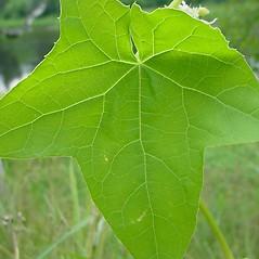 Leaves: Echinocystis lobata. ~ By Glen Mittelhauser. ~ Copyright © 2016 Glen Mittelhauser. ~ www.mainenaturalhistory.org