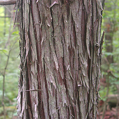 Bark: Chamaecyparis thyoides. ~ By Donald Cameron. ~ Copyright © 2016 Donald Cameron. ~ No permission needed for non-commercial uses, with proper credit