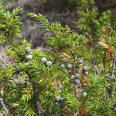 Fruits: Juniperus communis. ~ By Donald Cameron. ~ Copyright © 2016 Donald Cameron. ~ No permission needed for non-commercial uses, with proper credit