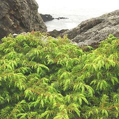 Plant form: Juniperus communis. ~ By Glen Mittelhauser. ~ Copyright © 2016 Glen Mittelhauser. ~ www.mainenaturalhistory.org