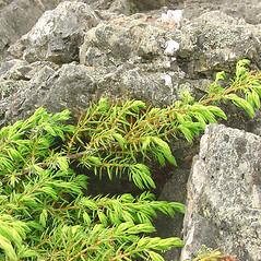 Leaves: Juniperus communis. ~ By Glen Mittelhauser. ~ Copyright © 2016 Glen Mittelhauser. ~ www.mainenaturalhistory.org