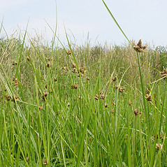 Plant form: Bolboschoenus maritimus. ~ By Glen Mittelhauser. ~ Copyright © 2016 Glen Mittelhauser. ~ www.mainenaturalhistory.org