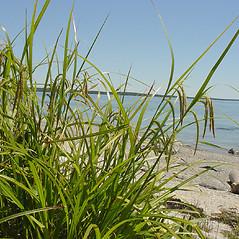 Plant form: Carex crinita. ~ By Glen Mittelhauser. ~ Copyright © 2016 Glen Mittelhauser. ~ www.mainenaturalhistory.org