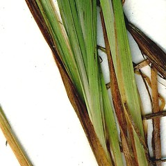Leaves: Carex magellanica. ~ By CONN Herbarium. ~ Copyright © 2016 CONN Herbarium. ~ Requests for image use not currently accepted by copyright holder ~ U. of Connecticut Herbarium - bgbaseserver.eeb.uconn.edu/