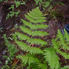 Plant form: Dryopteris campyloptera. ~ By Donald Cameron. ~ Copyright © 2016 Donald Cameron. ~ No permission needed for non-commercial uses, with proper credit