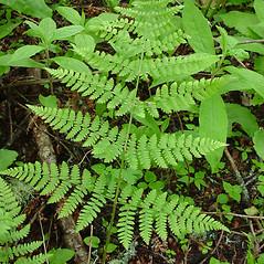Leaf: Dryopteris campyloptera. ~ By Glen Mittelhauser. ~ Copyright © 2016 Glen Mittelhauser. ~ www.mainenaturalhistory.org