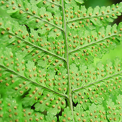 Sori: Dryopteris intermedia. ~ By Glen Mittelhauser. ~ Copyright © 2015 Glen Mittelhauser. ~ www.mainenaturalhistory.org
