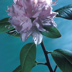 Flowers: Rhododendron carolinianum. ~ By Adelaide Pratt. ~ Copyright © 2016 New England Wild Flower Society. ~ Image Request, images[at]newenglandwild.org