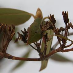 Winter buds: Rhododendron carolinianum. ~ By Dan Jaffe. ~ Copyright © 2015 Dan Jaffe. ~ djaffe[at]newenglandwild.org