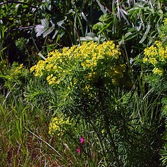 Plant form: Euphorbia cyparissias. ~ By Arthur Haines. ~ Copyright © 2013. ~ arthurhaines[at]wildblue.net