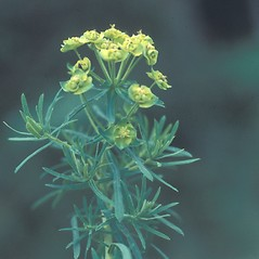 Leaves: Euphorbia cyparissias. ~ By Lawrence Newcomb. ~ Copyright © 2013 New England Wild Flower Society. ~ Rachel Wolff Lander, rwlander[at]newenglandwild.org
