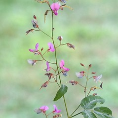 Flowers: Desmodium paniculatum. ~ By Arieh Tal. ~ Copyright © 2016 Arieh Tal. ~ http://botphoto.com/ ~ Arieh Tal - botphoto.com