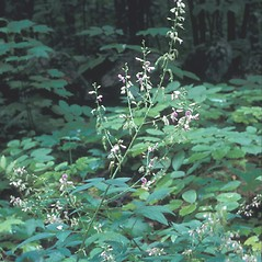 Plant form: Desmodium paniculatum. ~ By Frank Bramley. ~ Copyright © 2015 New England Wild Flower Society. ~ Image Request, images[at]newenglandwild.org