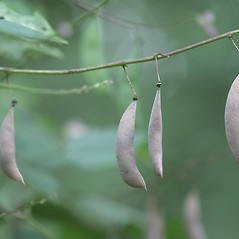 Fruits: Phaseolus polystachios. ~ By John Gwaltney. ~ Copyright © 2015 John Gwaltney. ~ southeasternflora.com ~ Southeastern Flora - www.southeasternflora.com/