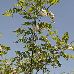 Plant form: Robinia viscosa. ~ By Giuseppe Sardi. ~ Copyright © 2015 Giuseppe Sardi. ~ www.parcocurone.it/ambiente/flora/index.php ~ Acta Plantarum -  www.actaplantarum.org