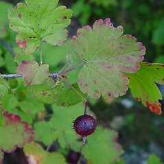 Leaves: Ribes cynosbati. ~ By Arthur Haines. ~ Copyright © 2016. ~ arthurhaines[at]wildblue.net