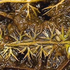 Leaves: Utricularia minor. ~ By Barry Rice. ~ Copyright © 2016. ~ bamrice[at]ucdavis.edu ~ CalPhotos - calphotos.berkeley.edu/flora/