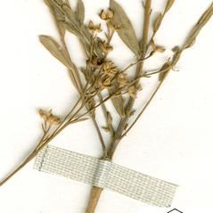 Stems: Linum intercursum. ~ By William and Linda Steere and the C.V. Starr Virtual Herbarium. ~ Copyright © 2015 William and Linda Steere and the C.V. Starr Virtual Herbarium. ~ Barbara Thiers, Director; bthiers[at]nybg.org ~ C.V. Starr Herbarium - NY Botanical Gardens