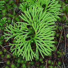 Plant form: Diphasiastrum digitatum. ~ By Arthur Haines. ~ Copyright © 2016. ~ arthurhaines[at]wildblue.net