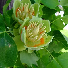 Flowers: Liriodendron tulipifera. ~ By Arthur Haines. ~ Copyright © 2016. ~ arthurhaines[at]wildblue.net