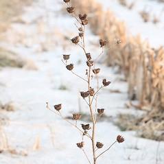 Plant form: Abutilon theophrasti. ~ By Arieh Tal. ~ Copyright © 2015 Arieh Tal. ~ www.nttlphoto.com ~ Arieh Tal - www.nttlphoto.com