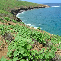 Plant form: Malva parviflora. ~ By Kim Starr. ~ Copyright © 2016 CC BY 3.0. ~ starrimages[at]hear.org ~ Plants of Hawaii - www.hear.org/starr/images/?o=plants