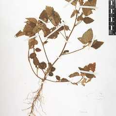 Plant form: Malvastrum coromandelianum. ~ By William and Linda Steere and the C.V. Starr Virtual Herbarium. ~ Copyright © 2014 William and Linda Steere an