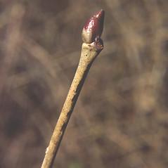 Winter buds: Tilia americana. ~ By Carol Levine. ~ Copyright © 2016 Carol Levine. ~ carolflora[at]optonline.net