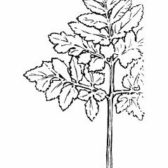 Detail of leaf and/or divisions: Botrychium oneidense. ~ By Gordon Morrison. ~ Copyright © 2016 New England Wild Flower Society. ~ Image Request, images[at]newenglandwild.org