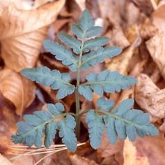 Leaf: Botrychium oneidense. ~ By Arthur Haines. ~ Copyright © 2016. ~ arthurhaines[at]wildblue.net