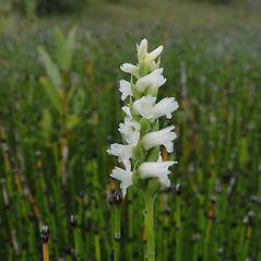 Flowers: Spiranthes cernua. ~ By Donald Cameron. ~ Copyright © 2016 Donald Cameron. ~ No permission needed for non-commercial uses, with proper credit