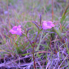 Flowers: Agalinis paupercula. ~ By Arthur Haines. ~ Copyright © 2014. ~ arthurhaines[at]wildblue.net