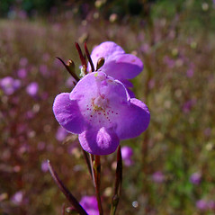 Flowers: Agalinis tenuifolia. ~ By Arthur Haines. ~ Copyright © 2015. ~ arthurhaines[at]wildblue.net