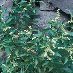 Plant form: Penthorum sedoides. ~ By Frank Bramley. ~ Copyright © 2015 New England Wild Flower Society. ~ Image Request, images[at]newenglandwild.org