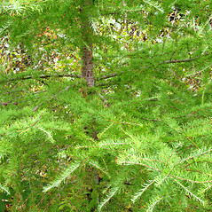 Plant form: Larix laricina. ~ By Donna Kausen. ~ Copyright © 2016 Donna Kausen. ~ 33 Bears Den, Addison, ME 04606