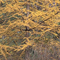 Plant form: Larix laricina. ~ By William Cullina. ~ Copyright © 2016 William Cullina. ~ bill[at]williamcullina.com