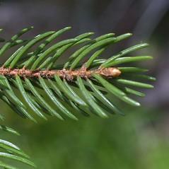 Winter buds: Picea rubens. ~ By Steven Baskauf. ~ Copyright © 2016 CC-BY-NC-SA. ~  ~ Bioimages - www.cas.vanderbilt.edu/bioimages/frame.htm