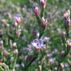 Flowers: Limonium carolinianum. ~ By Marilee Lovit. ~ Copyright © 2015 Marilee Lovit. ~ lovitm[at]gmail.com