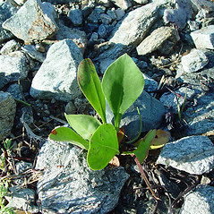 Leaves: Limonium carolinianum. ~ By Arthur Haines. ~ Copyright © 2016. ~ arthurhaines[at]wildblue.net