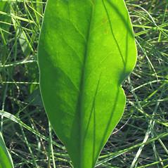 Leaves: Limonium carolinianum. ~ By Marilee Lovit. ~ Copyright © 2016 Marilee Lovit. ~ lovitm[at]gmail.com